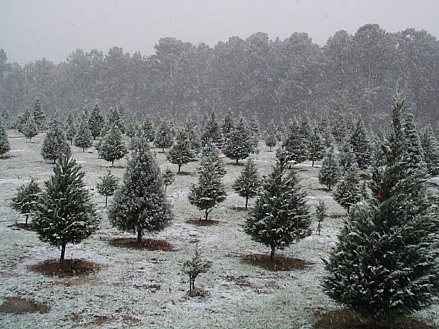 A Texas Snow Storm Occurred At Mill Hollow On Friday, December 4, 2009.  Approximately 2 Inches Of Snow Covered The Ground And Christmas Trees And  Soon ...